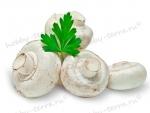 Подробно о грибах шампиньонах