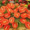 Антуриум — яркий цветок фламинго