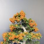 Бонсай-апельсиновый