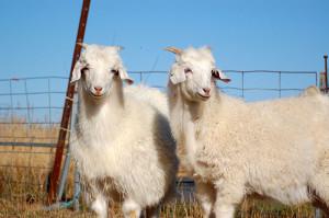 кашмирские козы кашемир