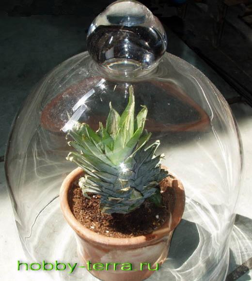 ананас выдерживаем 1,5 месяца под колпаком