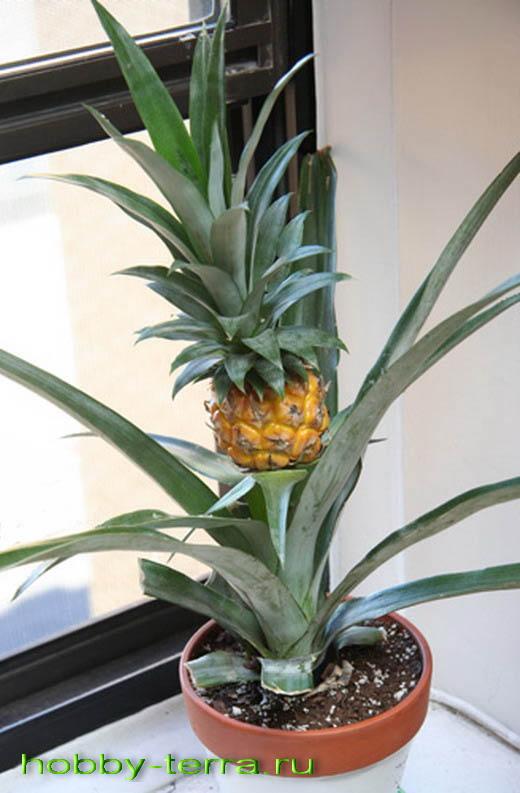 ананас на подоконнике дома