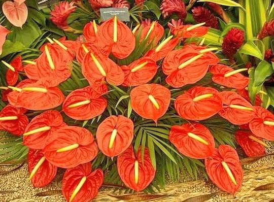 Антуриум цветы