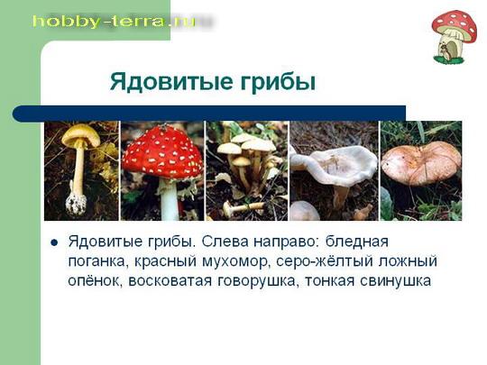 yadovitye-griby-2